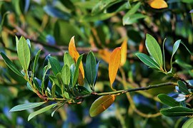 bay leaves essential oil