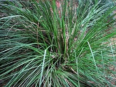vetiver grass essential oil